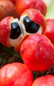 Fruta de guaraná